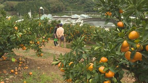 オレンジパークでみかん狩り♪